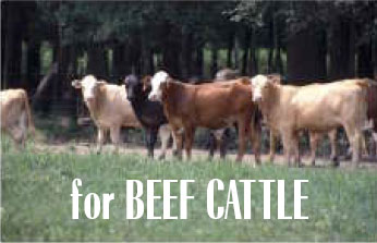 For Beef Cattle